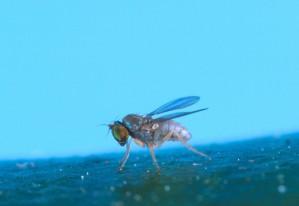 thrypticus, mosca, cerca
