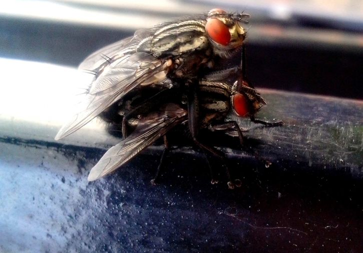 two, flies, insects, close, macro