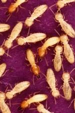 Formose, souterrain, termites, alimentation