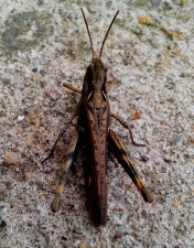 big, brown, grasshopper, insect