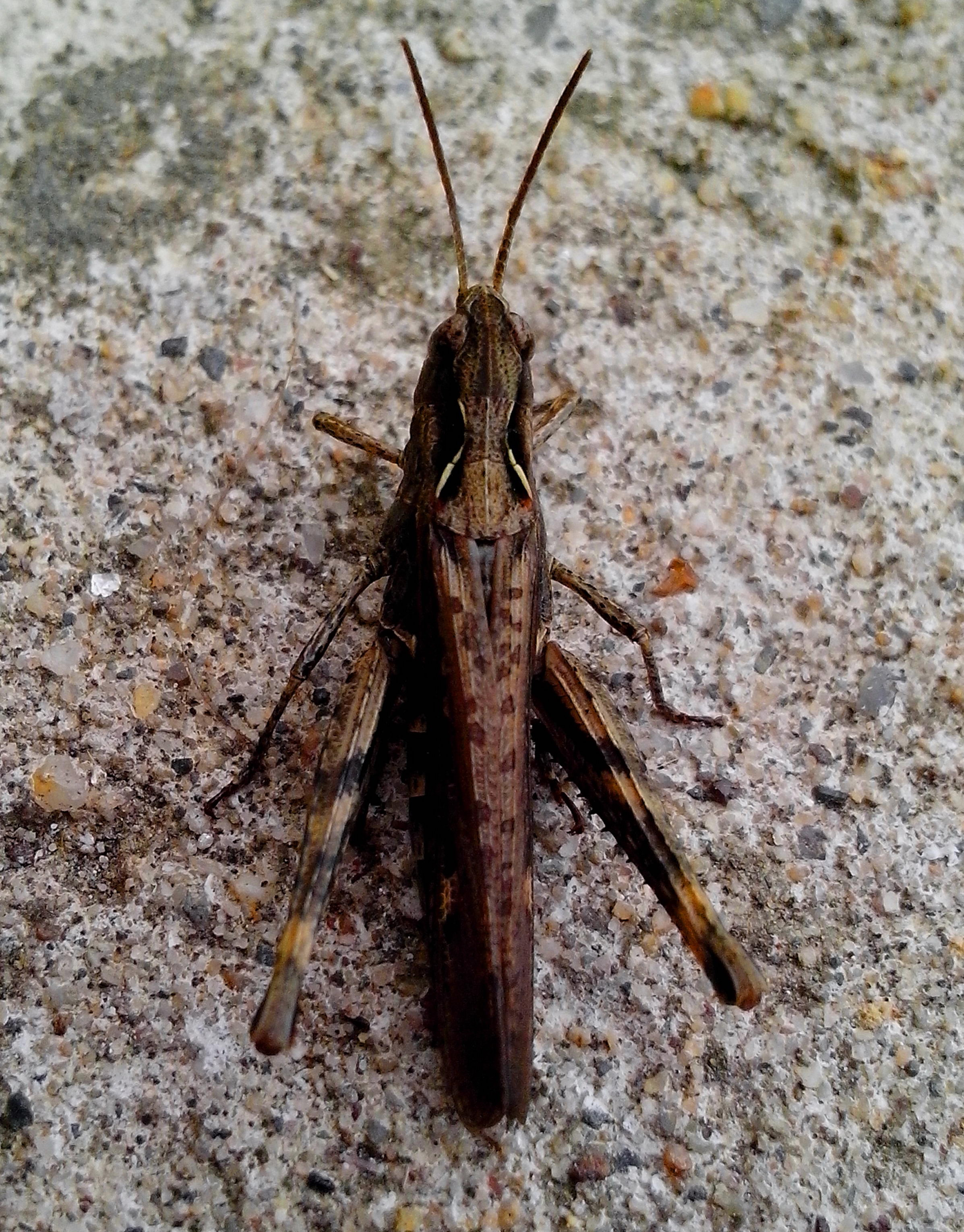 Free photograph; big, brown, grasshopper, insect