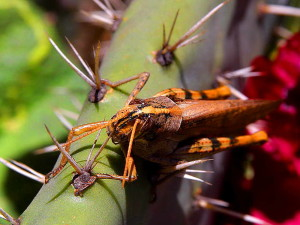 chyby, hmyz, kobylky, kaktus
