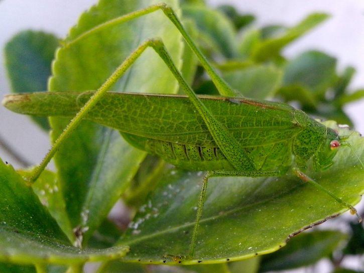 grasshopper, insect, macro