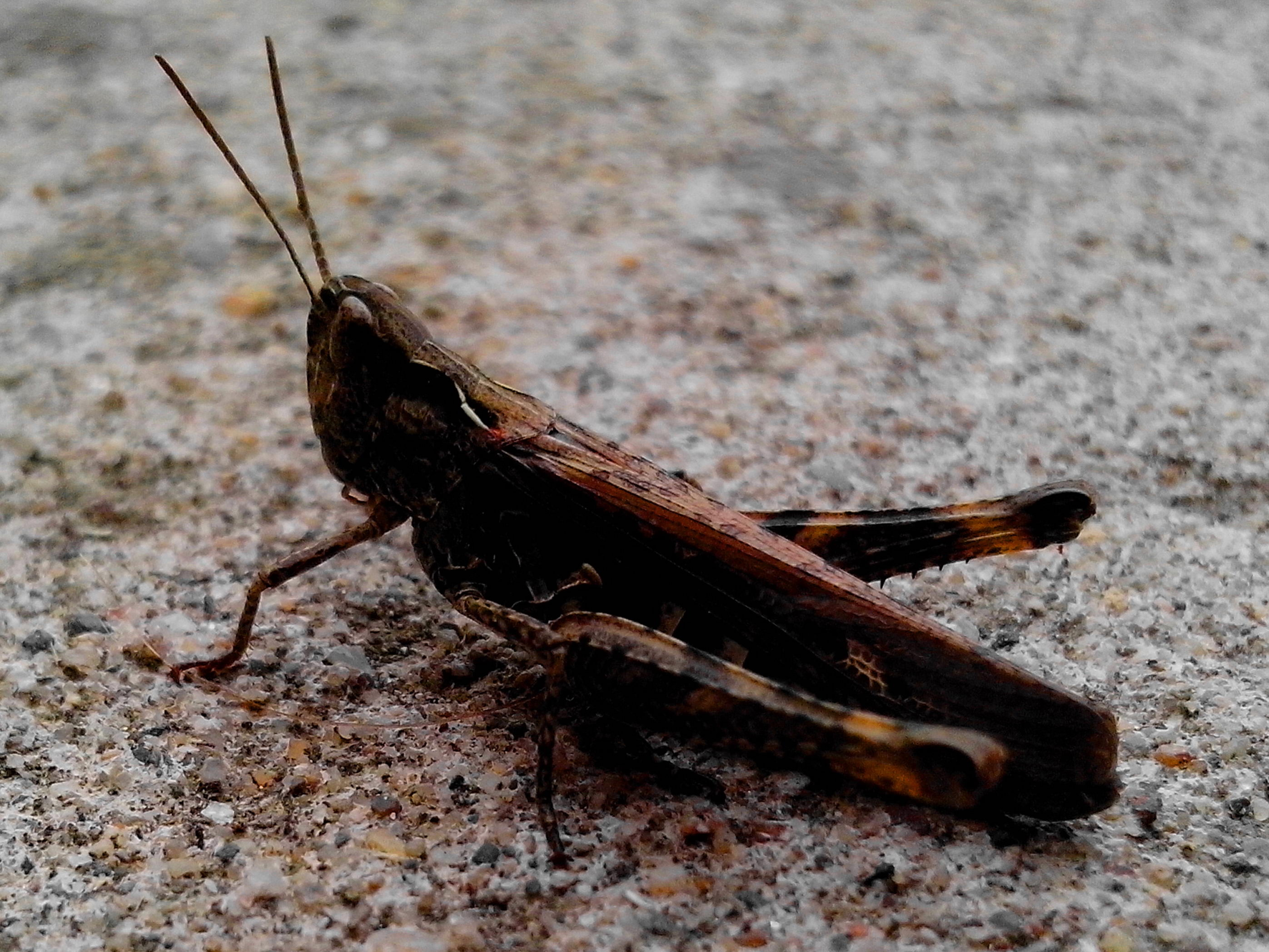 Free photograph; grasshoppers, insects, order, Orthoptera, suborder, Caelifera