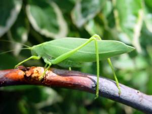 leaf, grasshopper