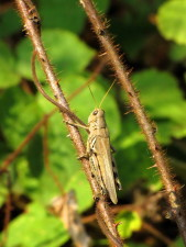 meadow, grasshopper, insect, conocephalus