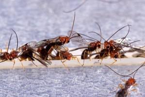 biosteres arisanus, wasps