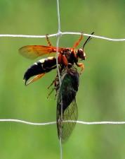 cicada, killer, wasp, holding, dead, cicada