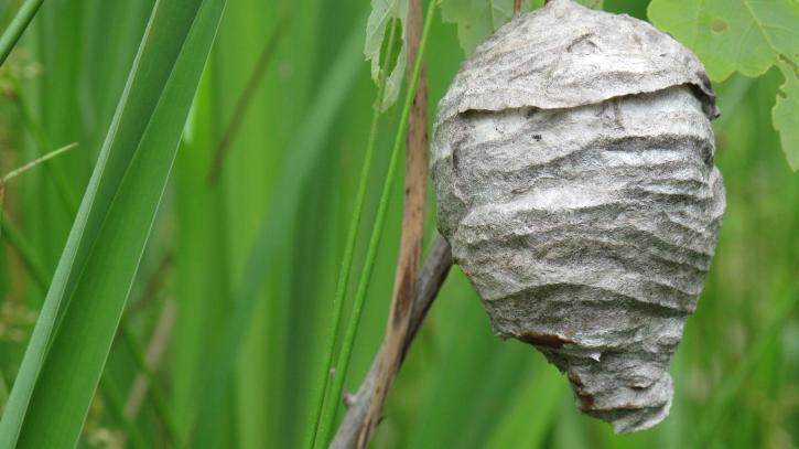 hornets, nest