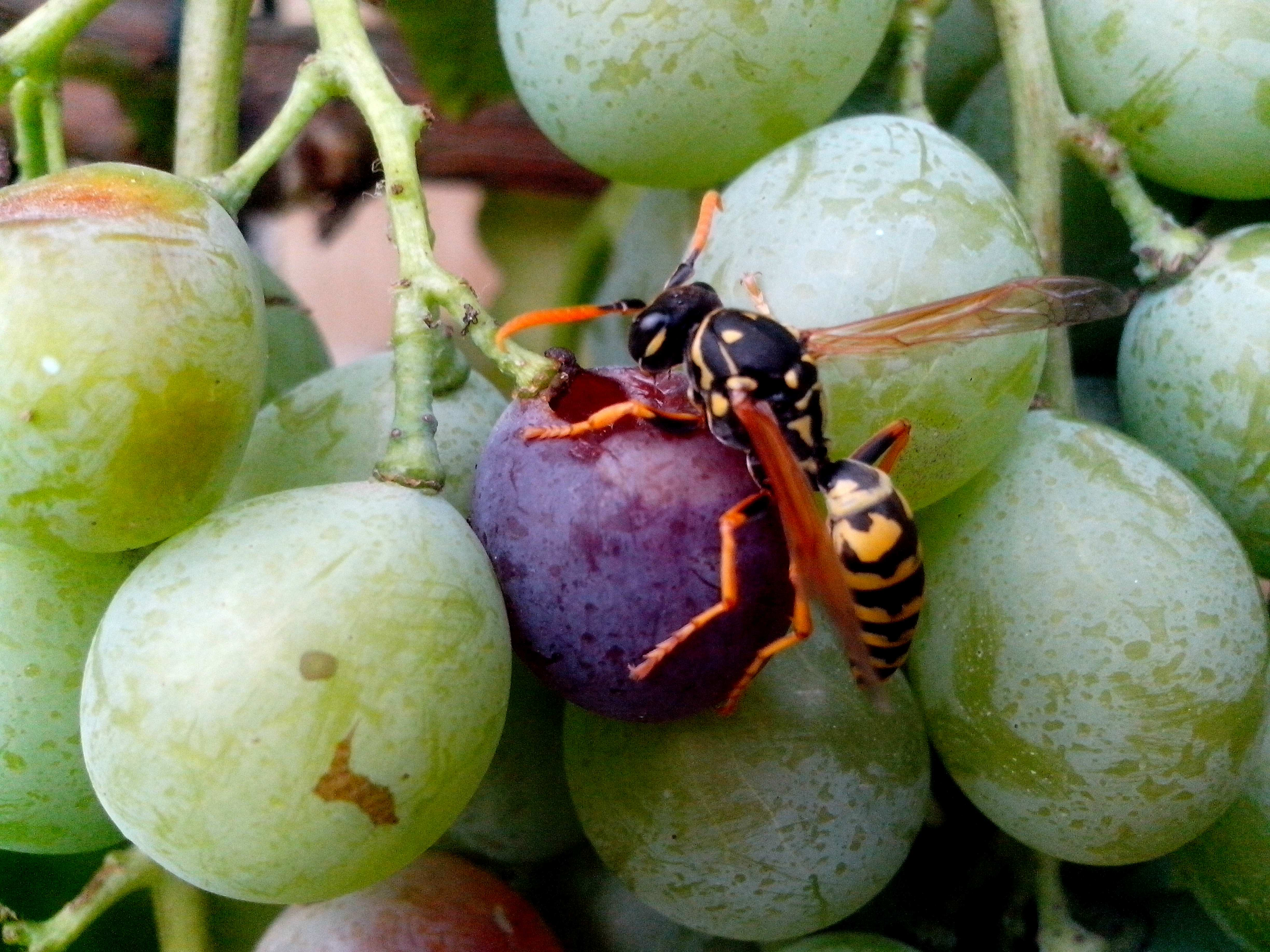 Free photograph; insects, wasps, grapes