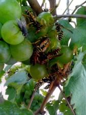 swarm, wasps, grapes