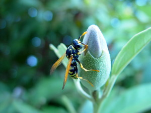 wasp, insect, bud
