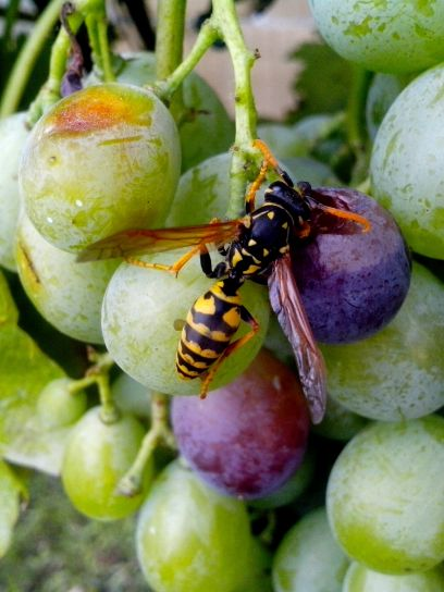 wasp, insect, grape