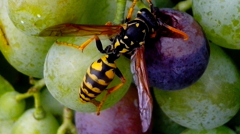 Free photograph; wasp, grape, fruit