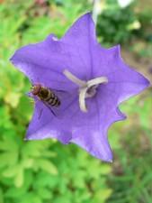 wasp, purple flower