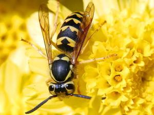 Hornet & hvepe