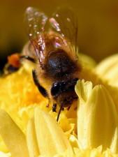 말 벌, 곤충, vespula germanica