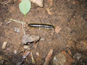 insect, centipede