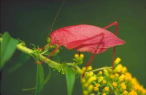 katydid, goldenrod, microcentrum, retinerve