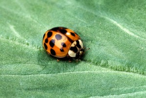 Asian, multicolored, lady, beetle