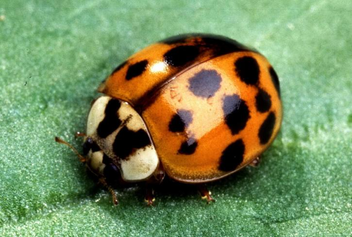 insect, lady, beetle