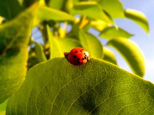 ladybug, insect, green leaves, close
