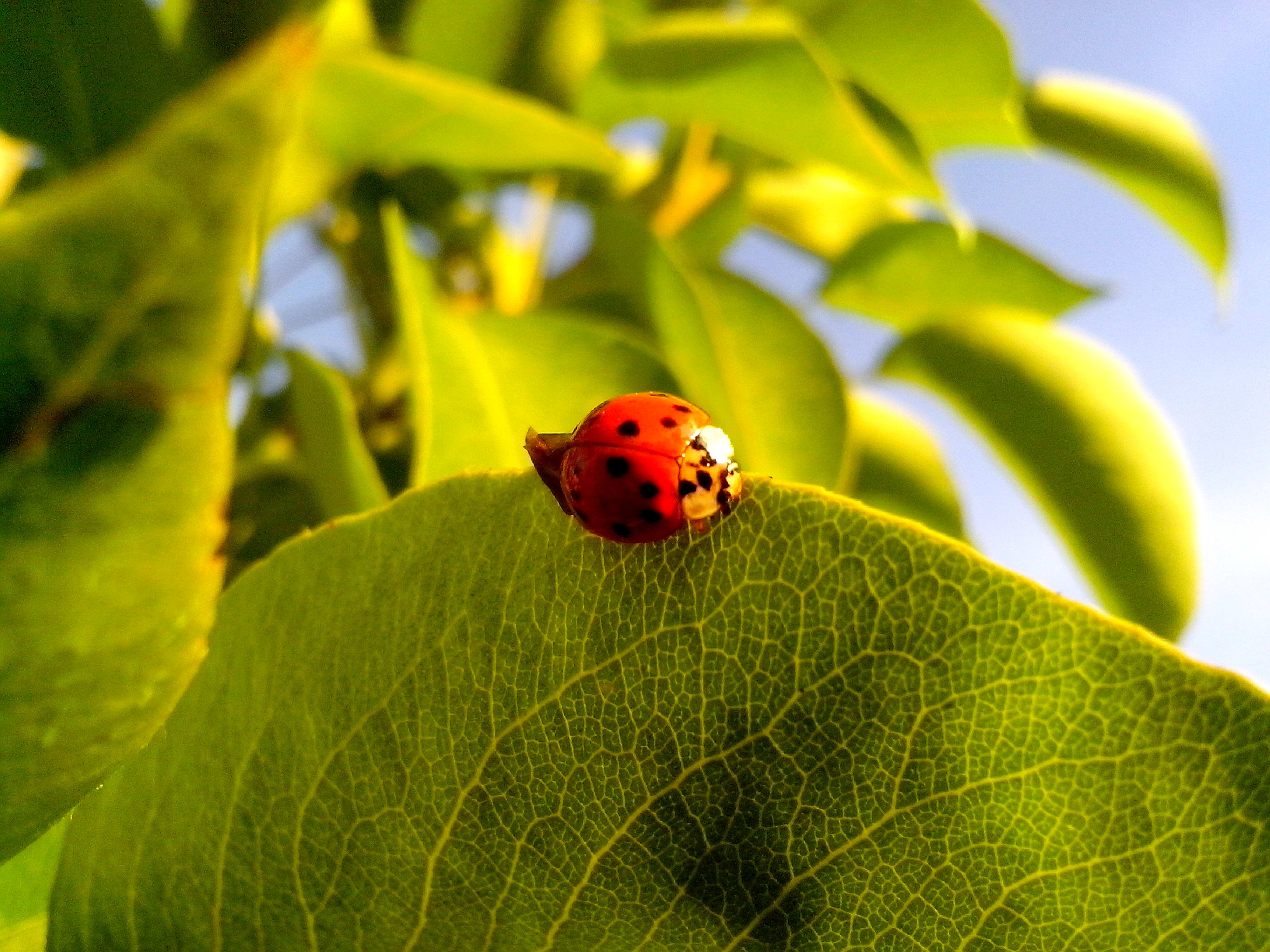 Free photograph; ladybug, insect, green, leaves, close