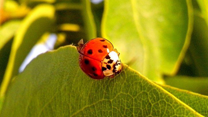 ladybug, leaves