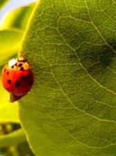 ladybug, leaves, macro
