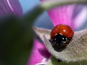 coccinelle, rouge, insecte
