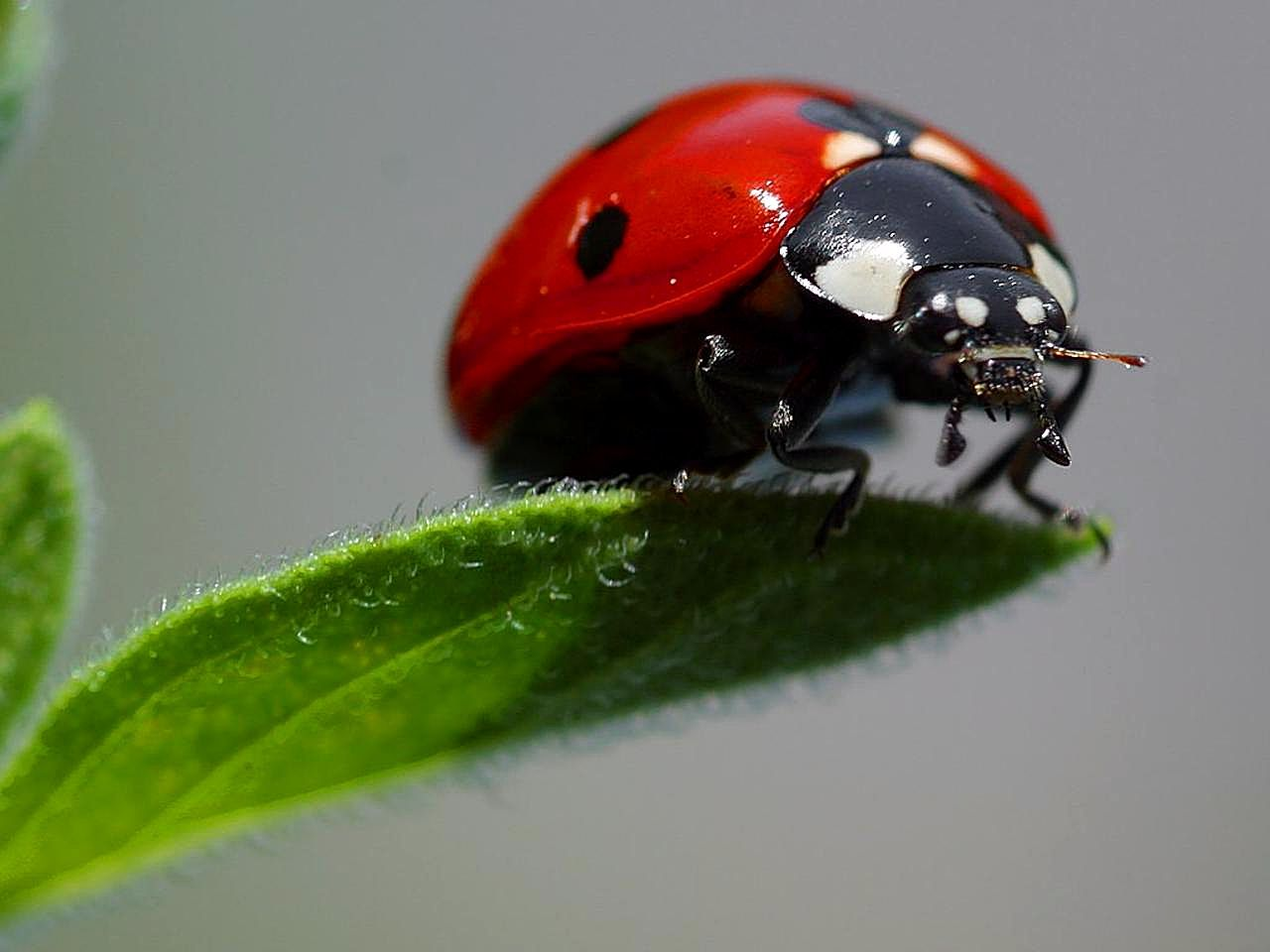 Free picture: ladybugs, macro, insects