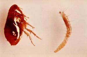 larva, adult, female, oriental, rat, flea, xenopsylla, cheopis