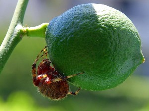 limes, spiders, fruit, insects