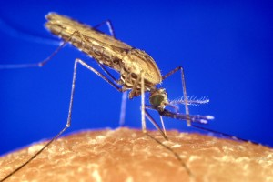 анофлес, gambiae, комар, малария, вектор, паразит