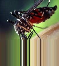 кръв, engorged, женски, aedes albopictus, комар, детайли, снимка