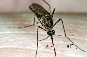 Настоящие комары, tarsalis, комаров, кормления, приземлился, кожи
