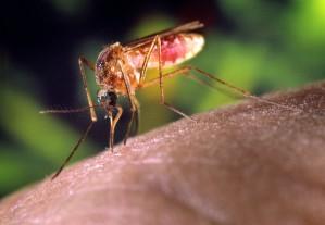 détails, haute définition, photo, moustiques, humain