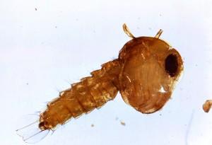 allargata, Culex, quinquefasciatus, zanzara, pupa