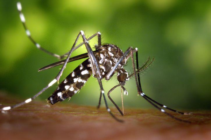 weiblich, Aedes albopictus, Moskito, Fütterung, Mensch, Host