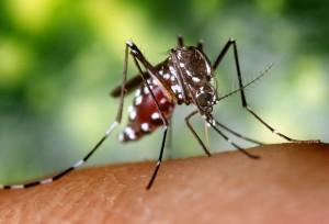 женски, aedes albopictus, комар, насекоми, up-close, детайли, макро, насекоми, снимка