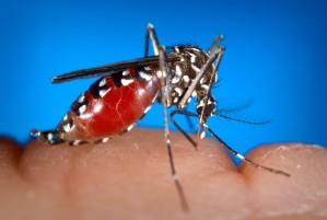 женски, aedes albopictus, комар, хранене, човешки, кръв, брашно, ставайки, engorged, кръв