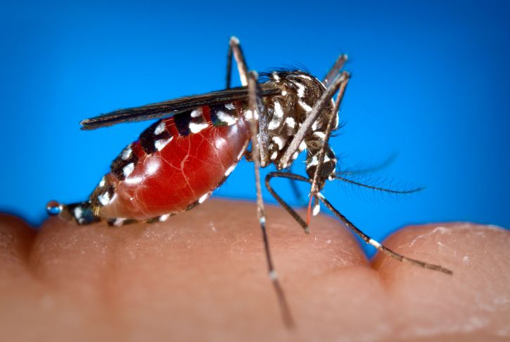 female, aedes albopictus, mosquito, feeding, human, blood, meal, becoming, engorged, blood