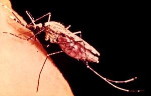 female, anopheles, mosquito, feeding, human, arm, female, mosquito, feeds, blood