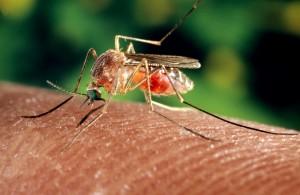 θηλυκό κουνούπι, έντομο, σίτιση, μακροεντολή, φωτογραφία