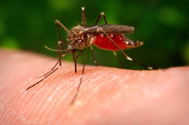 macro, image, mosquito, insect, aedes japonicus, ochlerotatus, japonicus