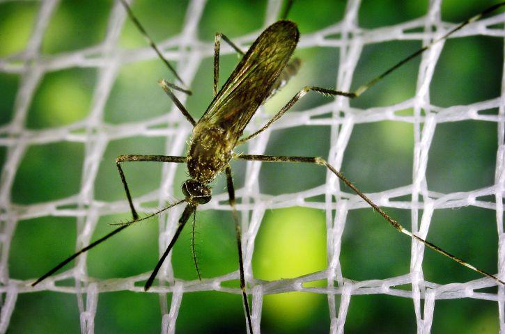 macro, image, mosquito, insect, ochlerotatus, japonicus, close