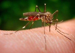mosquito, aedes japonicus, ochlerotatus, japonicus, specimen, Notre Dame, colony