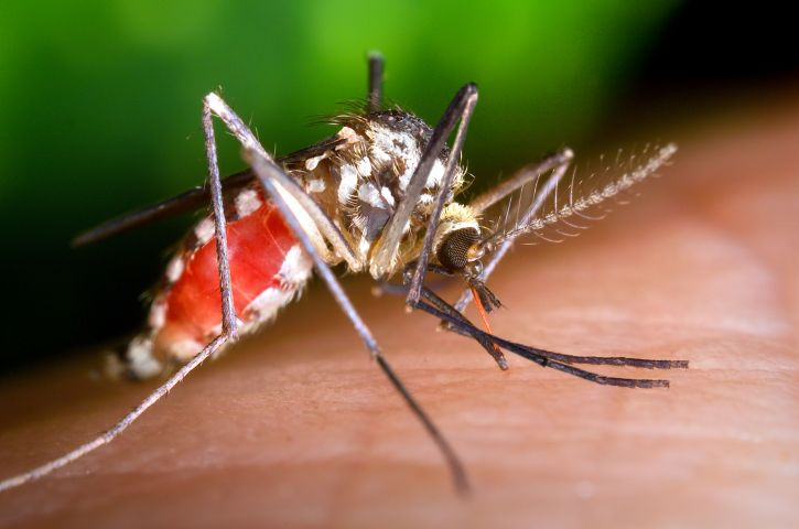 ochlerotatus triseriatus, mosquito, blood, meal, up-close, insect