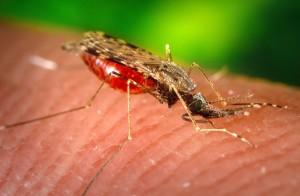 снимка, женски, анофлес, albimanus, комар, хранене, човешки, домакин