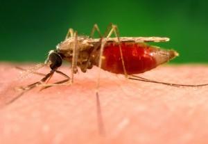 fotografie ukazuje, anopheles minimus, malárie, vektor, orient, komár, boční, perspektivy